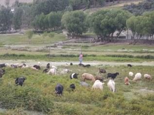 et le bétail